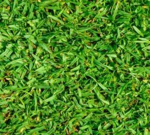 A close up photo of Kikuyu styled grass