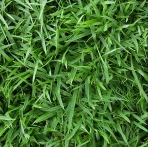 A close up photo of Zoysia styled grass